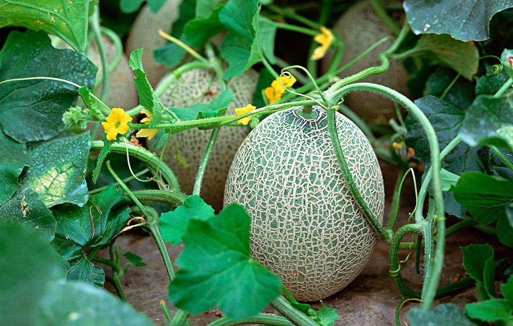 Everything You Need To Know About Growing Juicy Melons Growing
