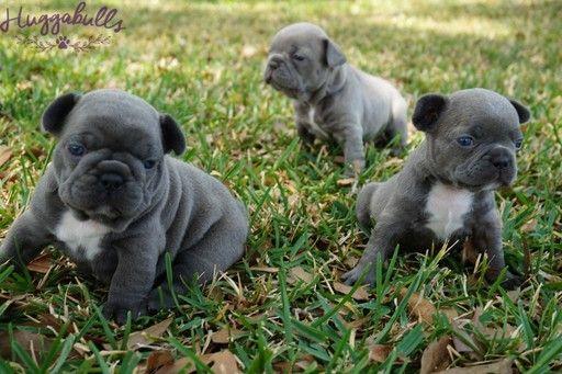 French Bulldog Puppy For Sale In Tampa Fl Adn 29239 On Puppyfinder Com Gender Female Age 5 Weeks Bulldog Puppies For Sale French Bulldog Puppies For Sale