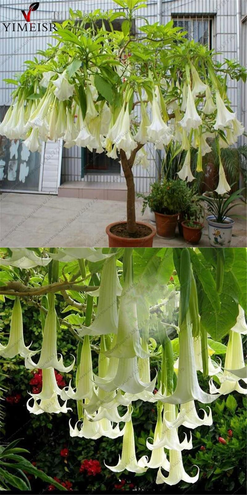 Datura Flower Seeds Tropical Plant Seeds Aromatic White Angels