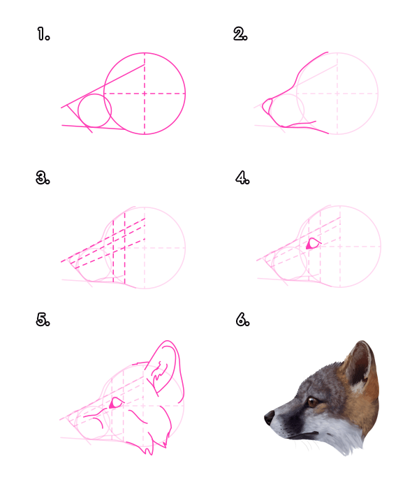 How to draw a gray foxs head from profile view canine anatomy how to draw a gray foxs head from profile view ccuart Choice Image