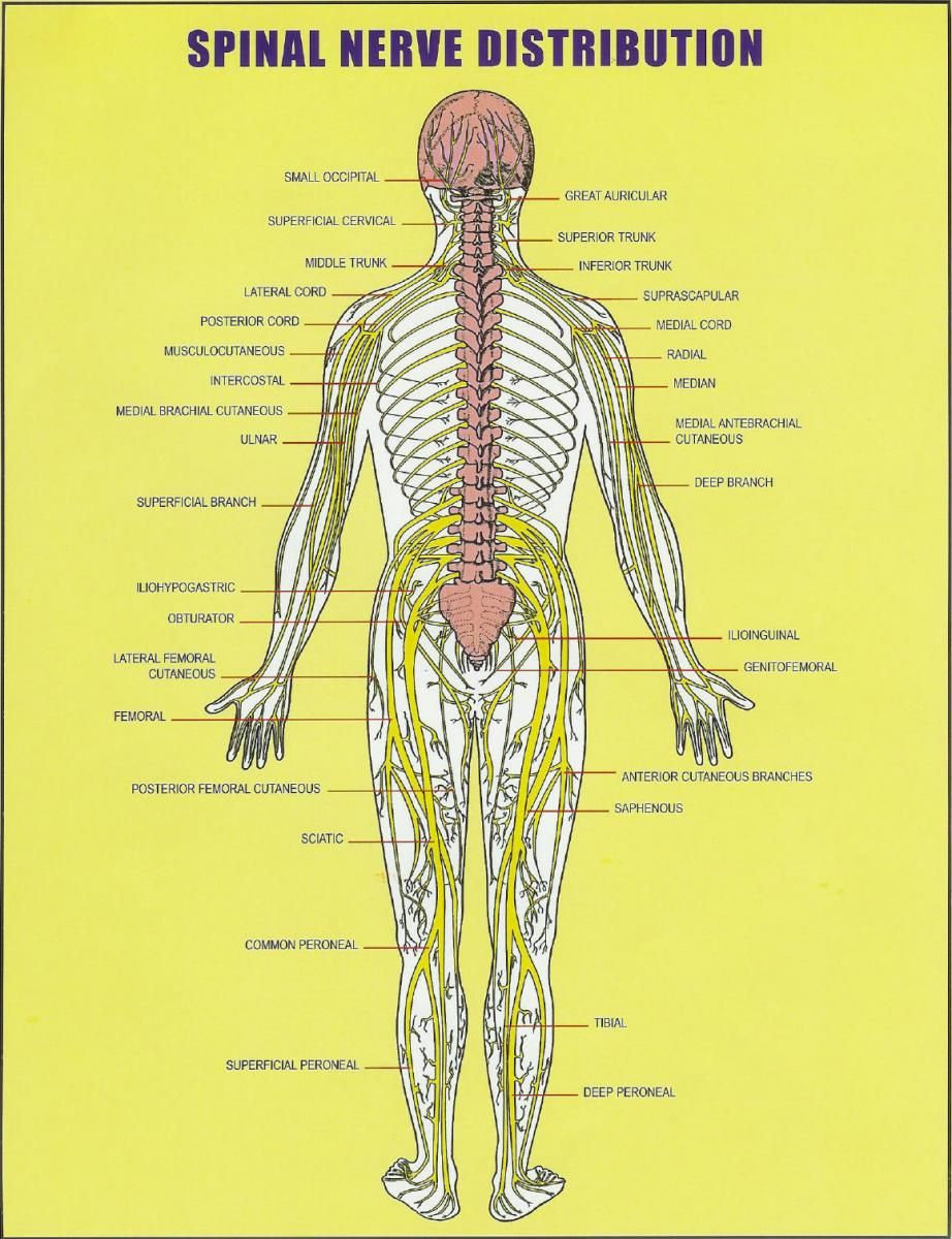 small resolution of all about the spinal cord spinal nerve distribution chart vertebral subluxation and spinal nerves