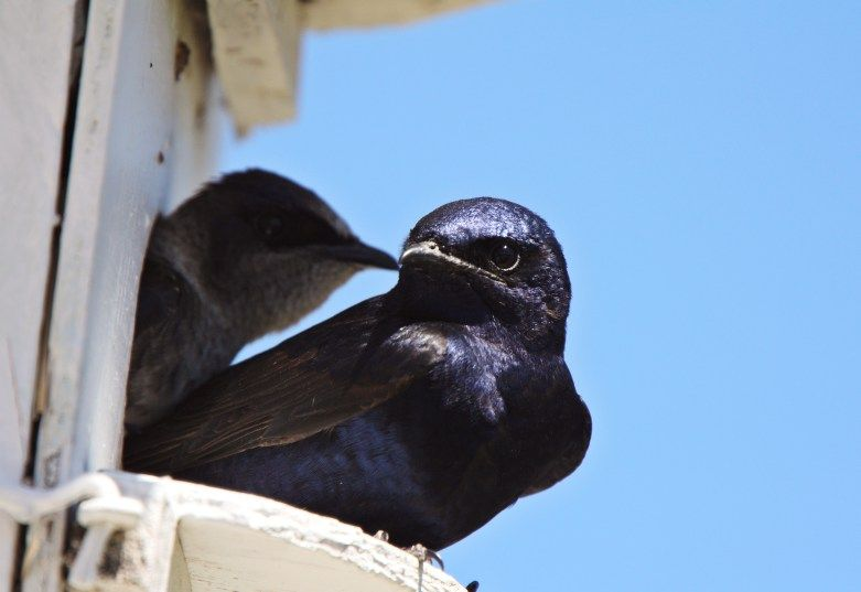 How To Attract And House Purple Martins Purple Martin Purple Martin House Bird Houses