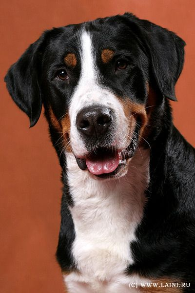 Greater Swiss Mountain Carstel Dogs Great Site For Rarer