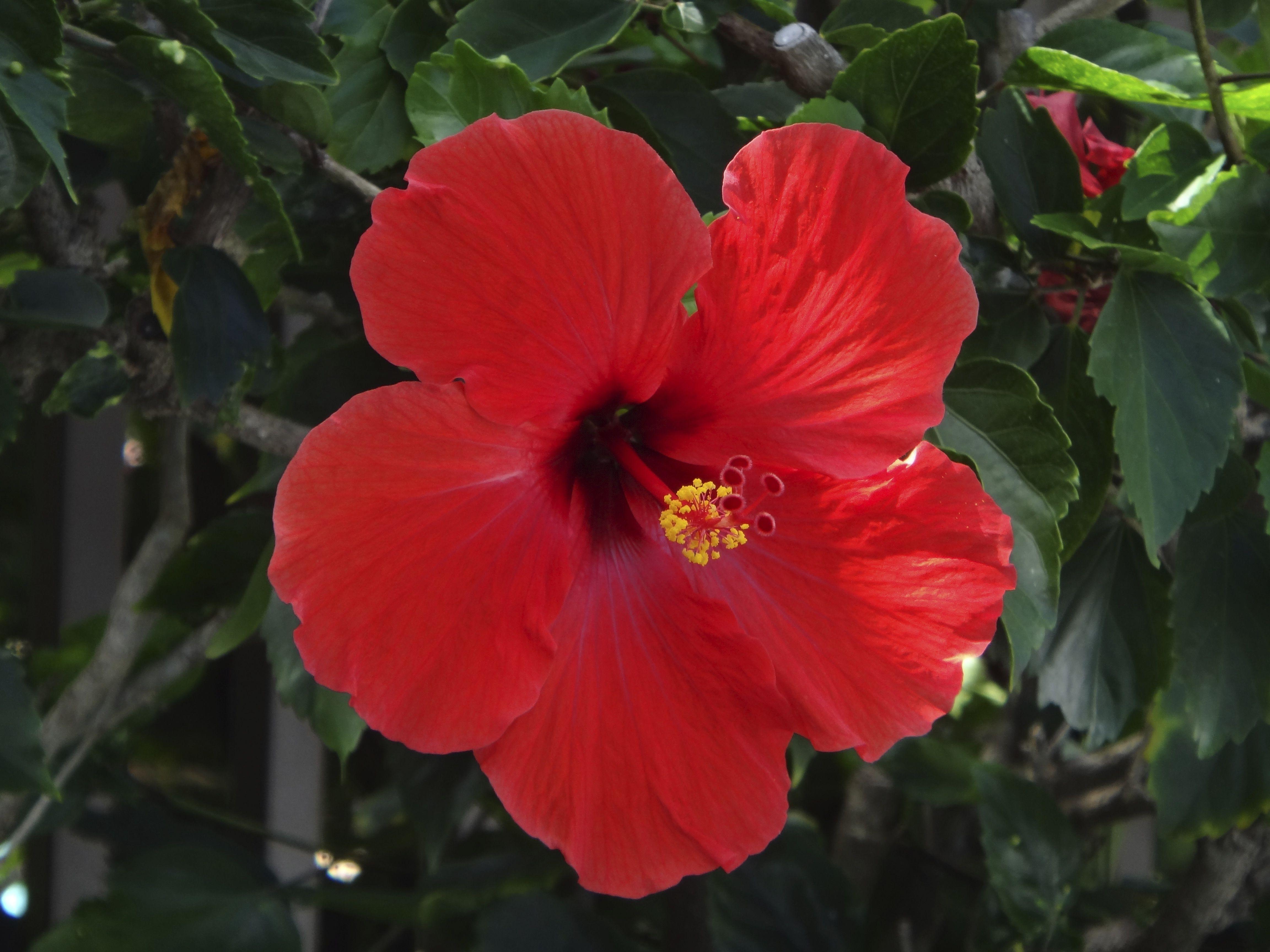 Hibiscus flower hawaii lovely pinterest hibiscus flowers hibiscus flower hawaii izmirmasajfo