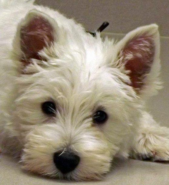 Westie Puppy Westie Puppies Westie Dogs West Highland Terrier