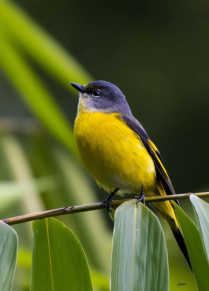 Grey Chinned Minivet Grey Chinned Minivet Birds Animals