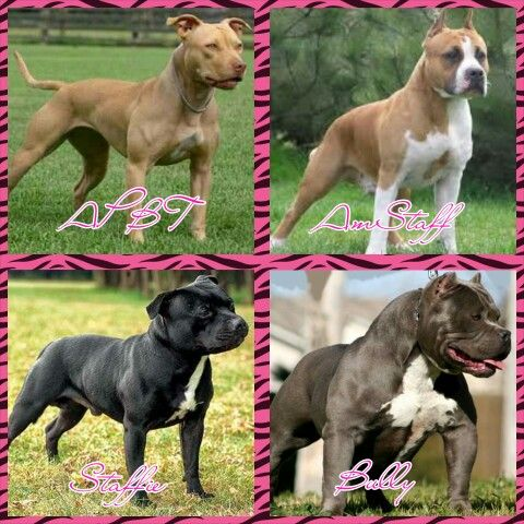 There Is A Difference Top Left American Pitbull Terrier Top Right