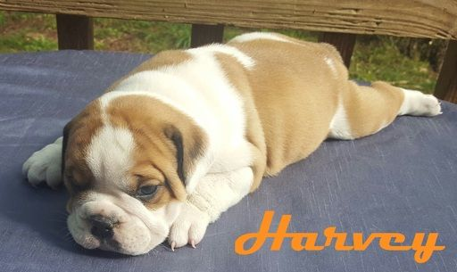 Litter Of 6 Bulldog Puppies For Sale In Morganton Nc Adn 29463