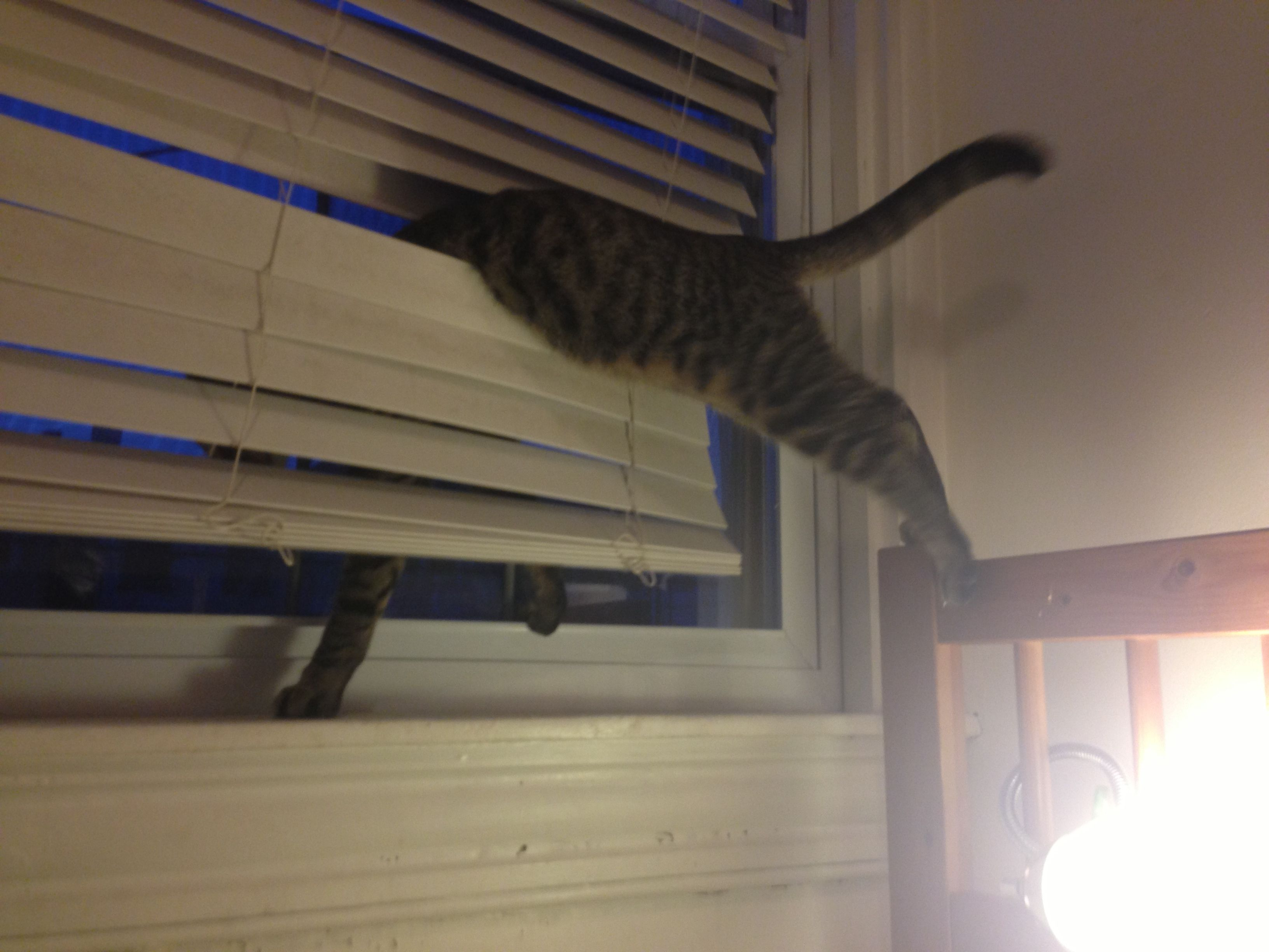Cat In Blinds Cat Window Cats Cordless Blinds
