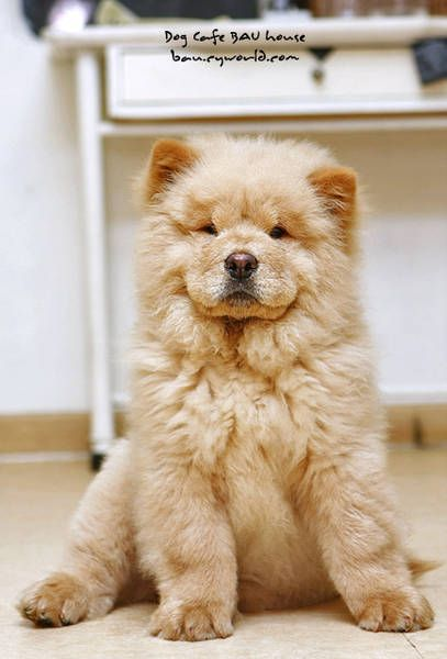 Picture 1 Chow Chow Baby Puppies Pets Chow Chow Dogs