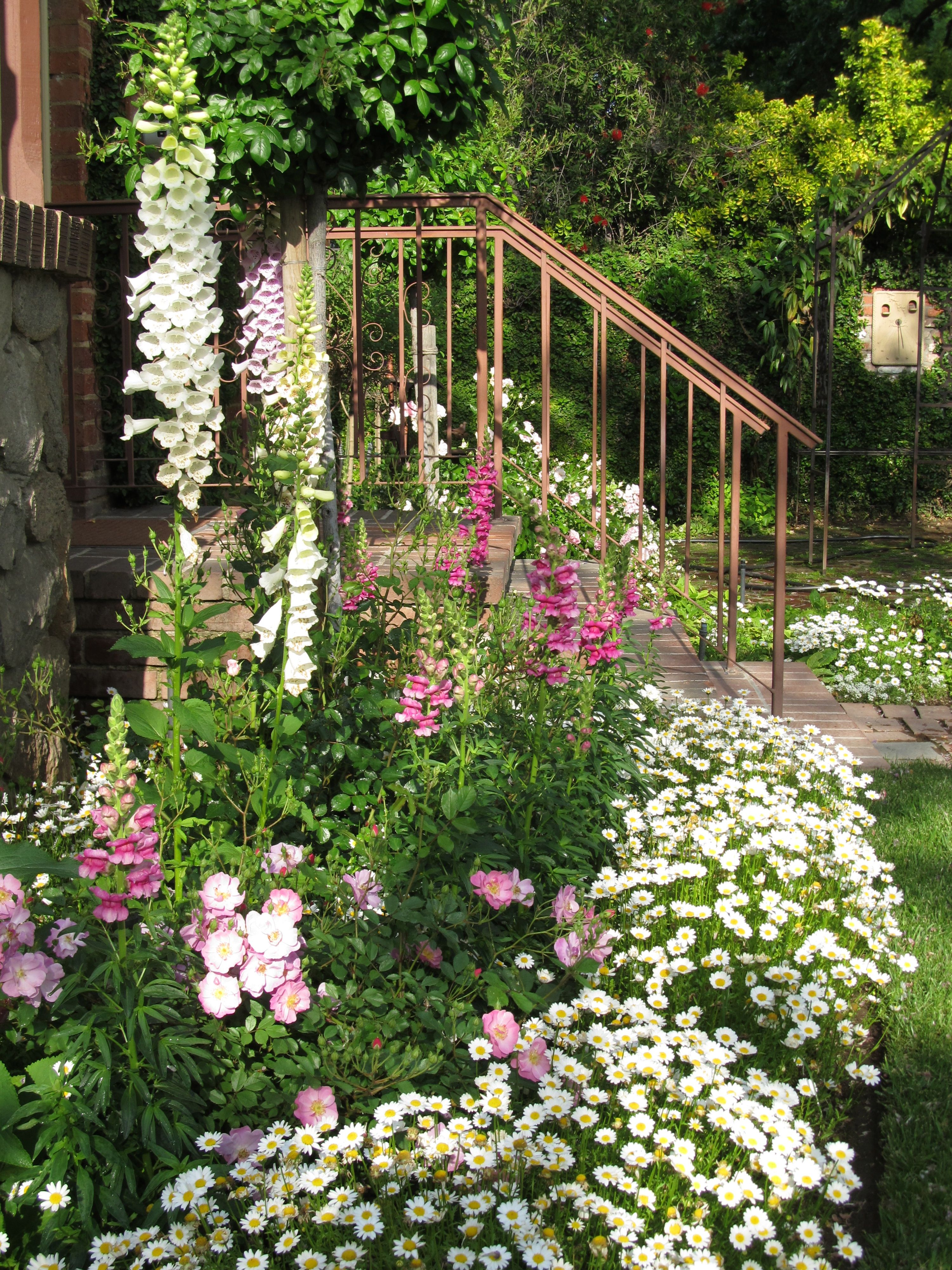Shasta Daisy Border For Flower Bed Of Foxglove Snapdragon And