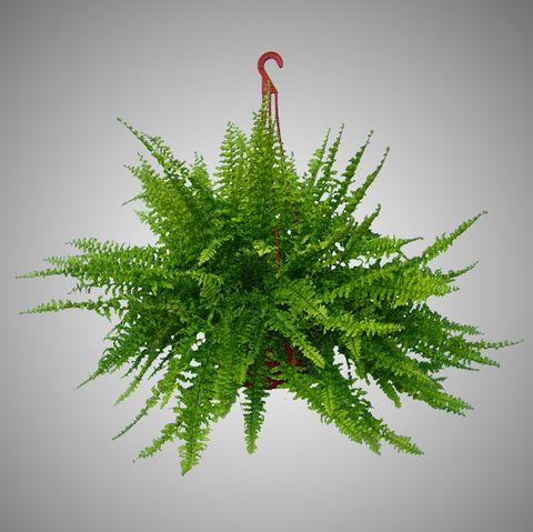 El Helecho como una de las Plantas de Interior. Una de las plantas ...