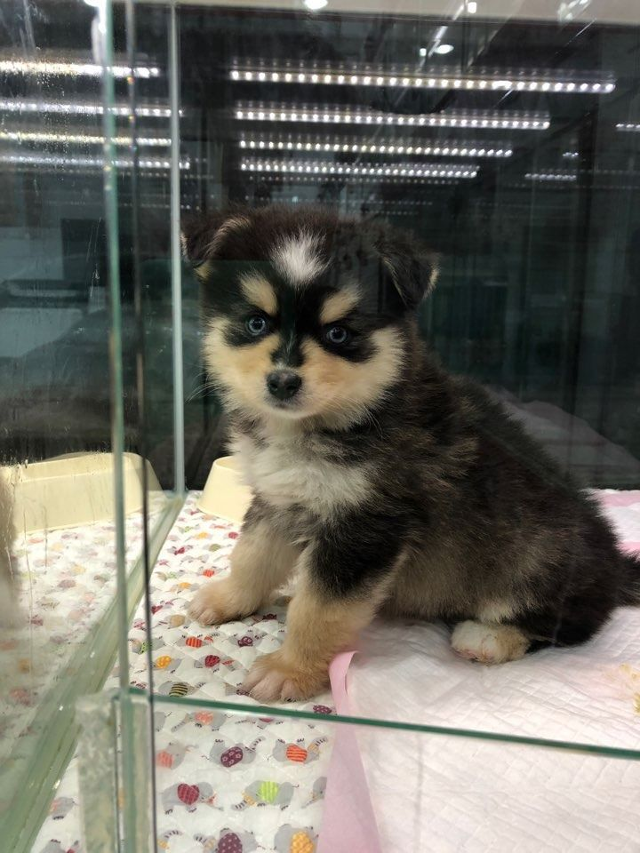 New Pomsky Boy🌟🌟 Only Here https//www.alohateacuppuppies