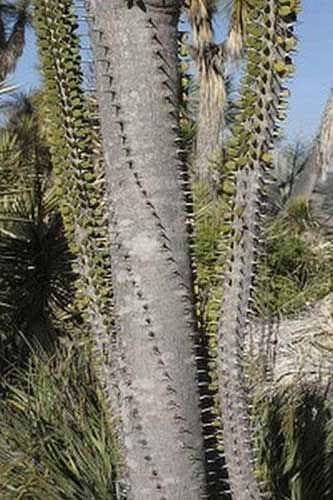 Alluaudia: Es una de las plantas más características de Madagascar. Hay seis subtipos diferentes, y tiene flores, muchas espinas y crecen como si fueran arbustos formando bosques. Puede alcanzar los 20 metros de altura.