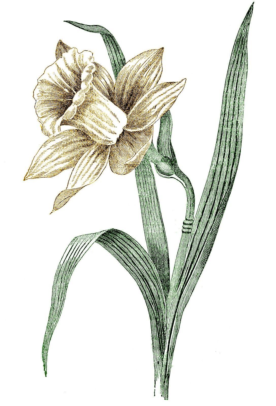 Vintage spring clip art daffodil daffodils birth month flowers