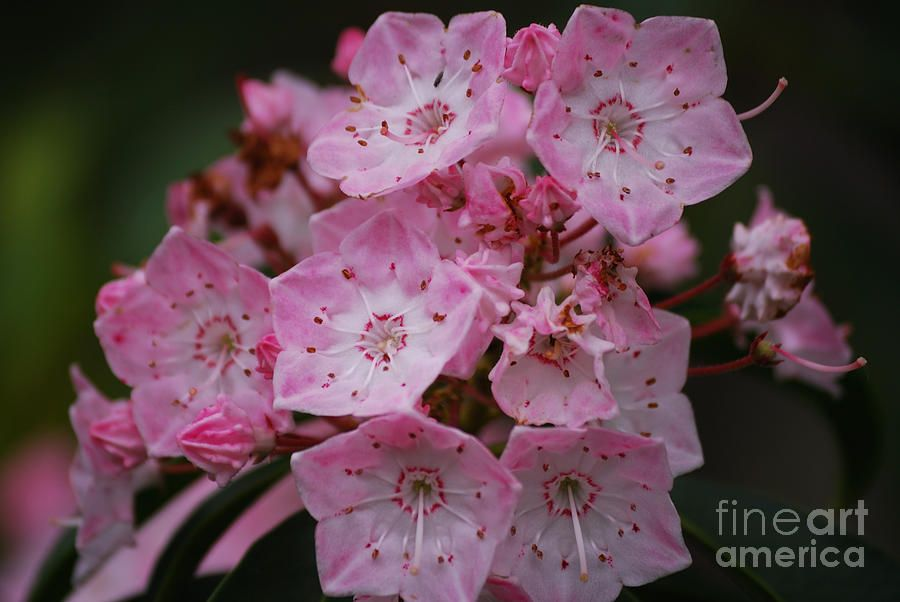 Mountain Laurel Bloom By Randy Bodkins Mountain Laurel Bloom Beautiful Flowers
