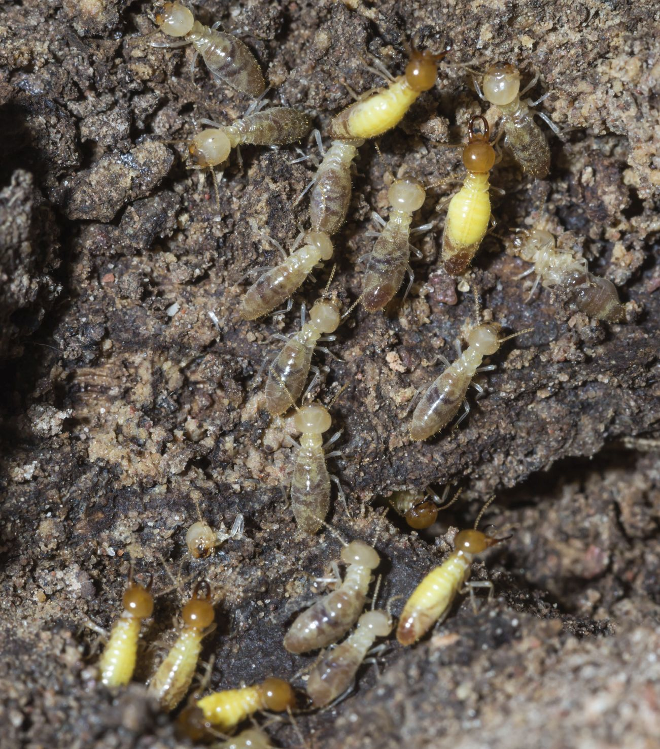 Wood Mulch And Termites How To Treat Termites In Mulch