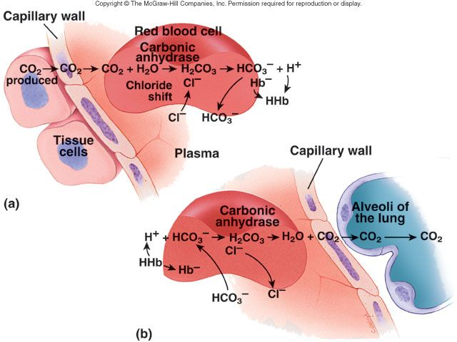 blood gas transport essay Although carbon dioxide is more soluble than oxygen in blood, both gases  require a specialized transport system for the majority of the gas molecules to be .