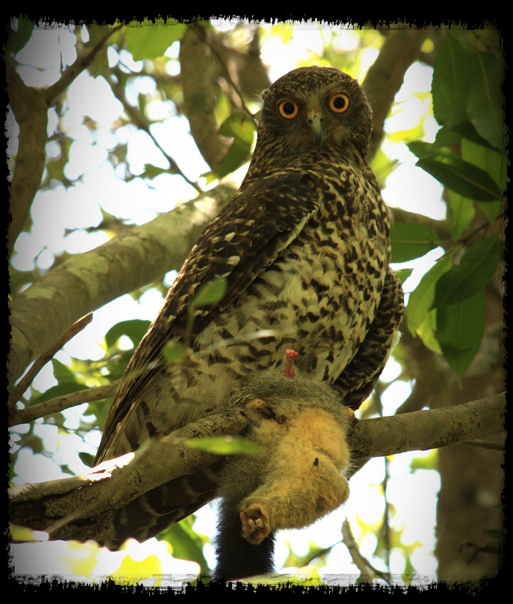 Powerful Owl Sydney Bush Land With Remains Of Possum Kill Owl Creatures Animals