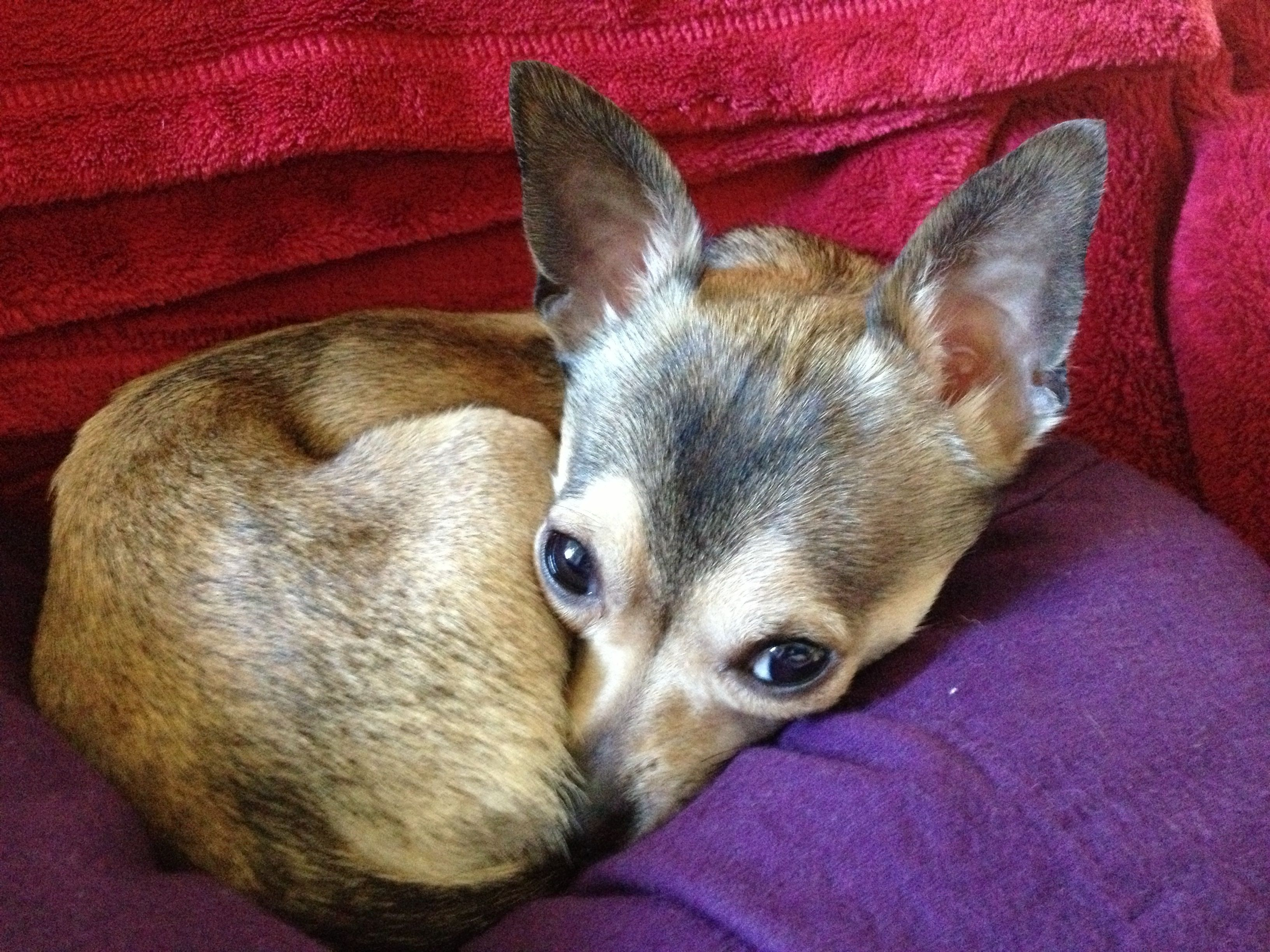 My Sweet Little Rio Deer Head Sable Chihuahua Animals Corgi
