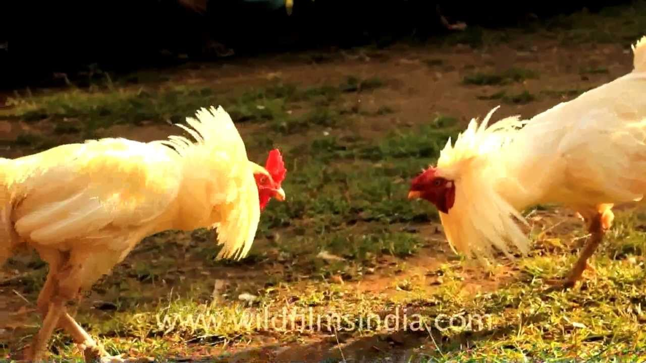 Cock fighting - a cruel sport...
