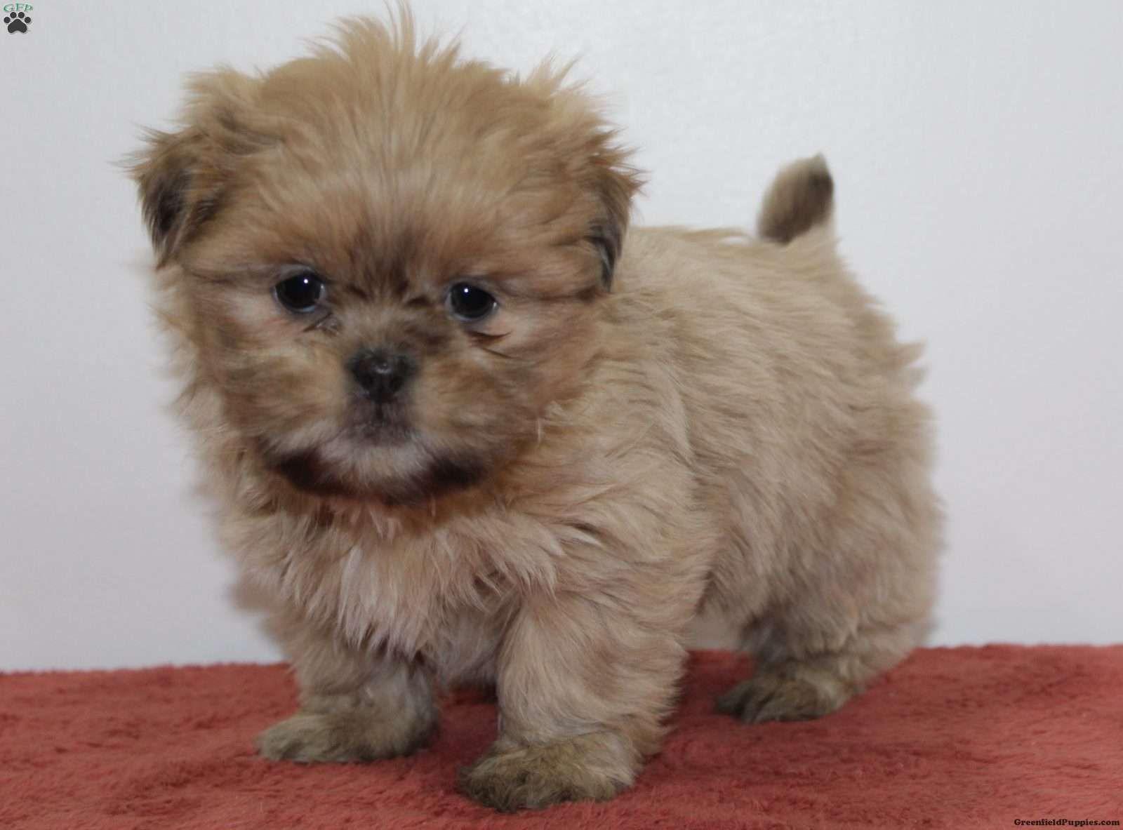 Watson Cavapoo Puppy For Sale in Pennsylvania Cavapoo