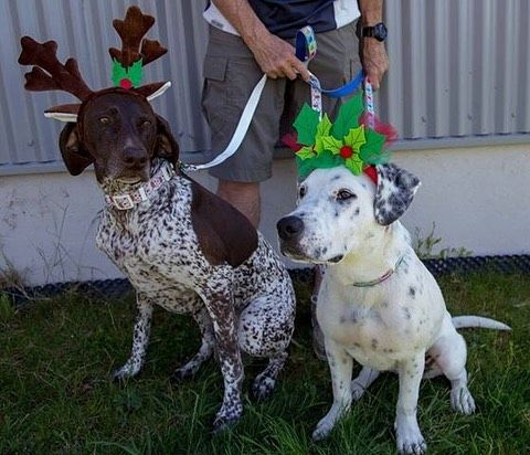 Tui the German Shorthaired Pointer and Freddie the pound paws puppy with their new Christmas collars and leads. Our clients got Freddie from pound paws this year as a mate for Tui and they adore him! They were very happy to support pound paws by buying the Christmas collars as they think they do a great job! ⠀ ⠀ We still have plenty of collars, leads and cat collars left. These range from $4.99 - $9.99 and $1 per purchase will go to Pound Paws Rescue. Make sure you come down to your local Vetlife to get yours today! ⠀ ⠀ #animalrescue #vetlife #poundpaws #charity #christmas #dogoftheday #pointersofinstagram ⠀