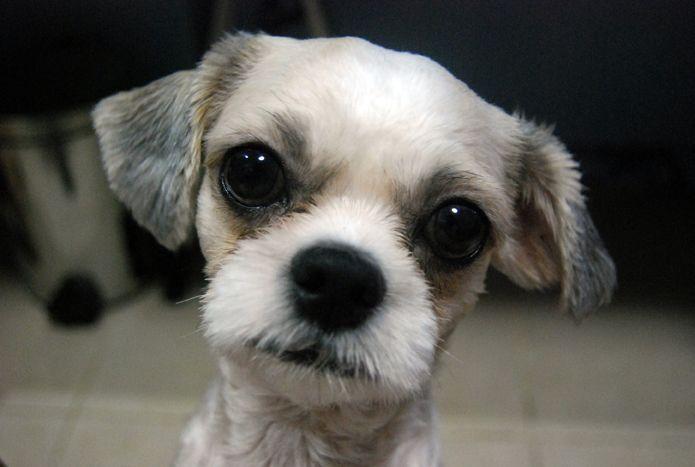 10 Best Shih Tzu Dog Names Shih Tzu Dog Shih Tzu Dog Names