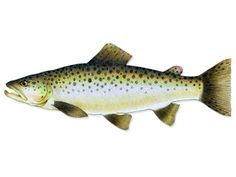 Trout Trout are a great fish for aquaponic systems where ...