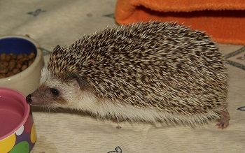 Available West Coast Hedgehogs Baby Hedgehogs For Sale In Oregon Baby Hedgehogs For Sale Hedgehog For Sale Baby Hedgehog