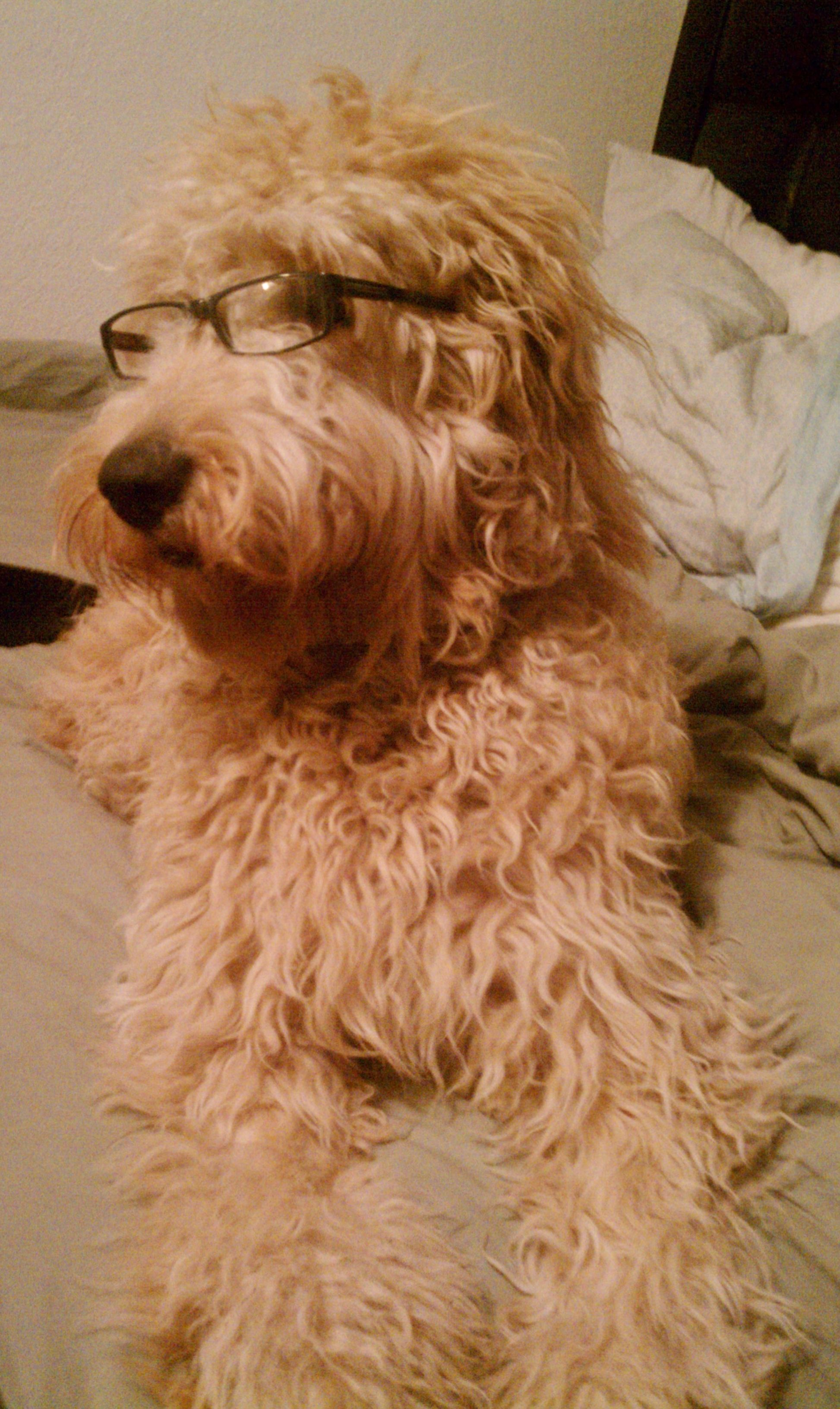 Goldendoodle with glasses