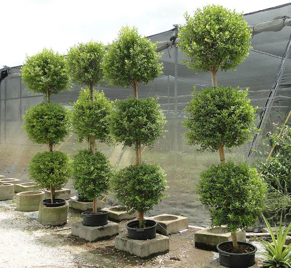 Topiary on March 8 with their own hands: master classes