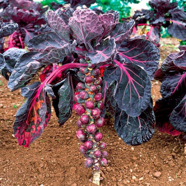 Purple Cabbage Brussels Sprout Rozella 50 Heirloom Organic Seeds Comb S H Cabbage Seeds Heirloom Vegetables Organic Vegetable Seeds