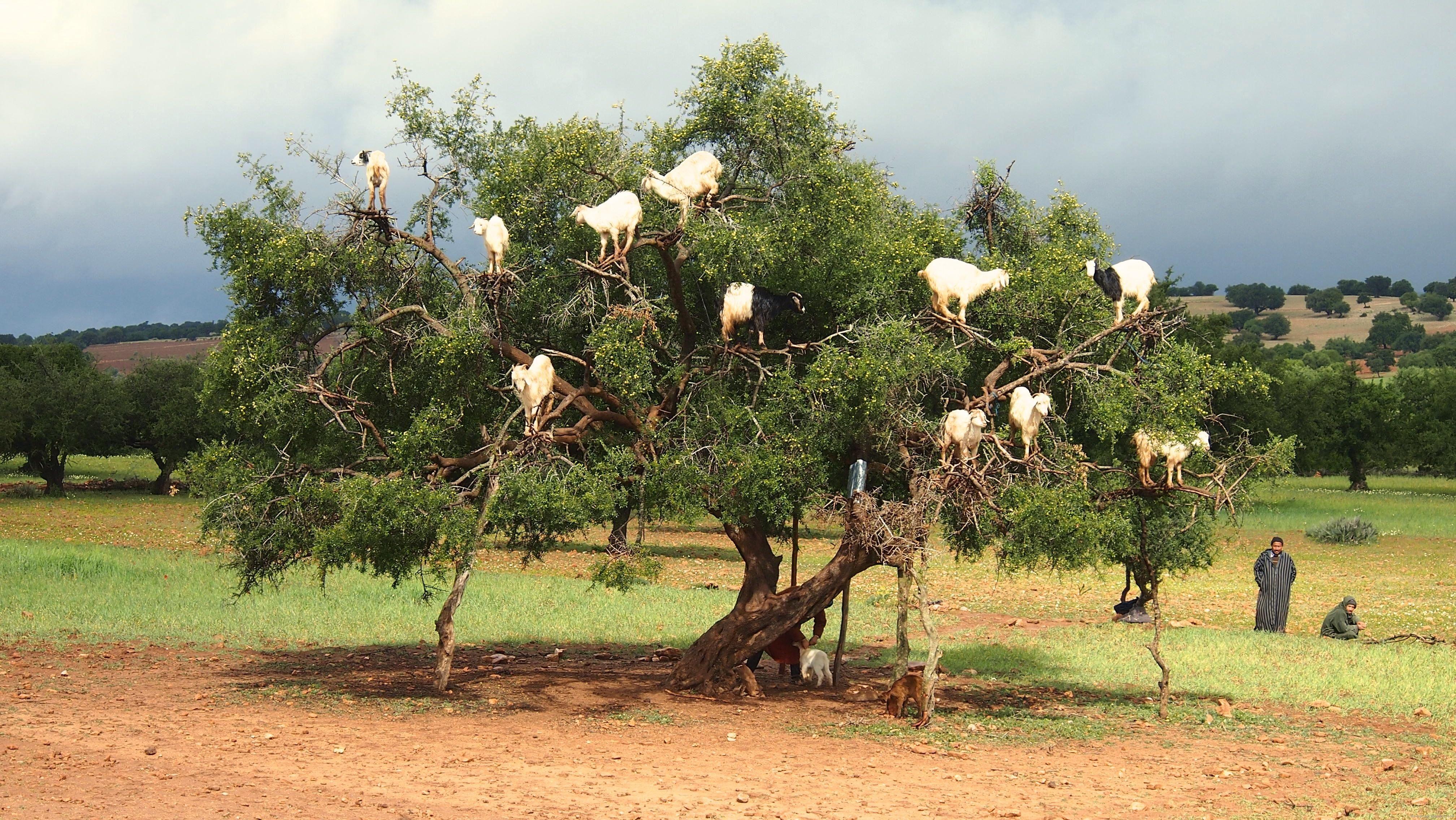 Goats in trees near Essaouira Morocco ...