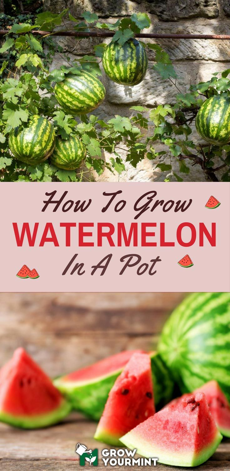 how to grow watermelon in a pot