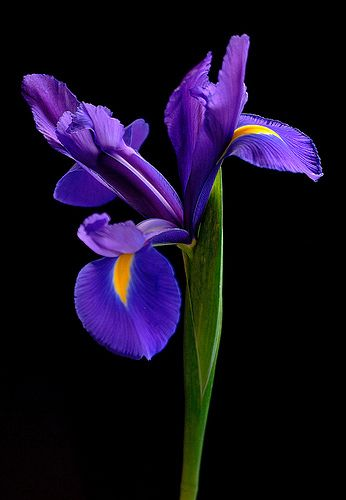 Iris Portrait Flickr Photo Sharing Iris Flowers Flowers Photography Purple Flowers