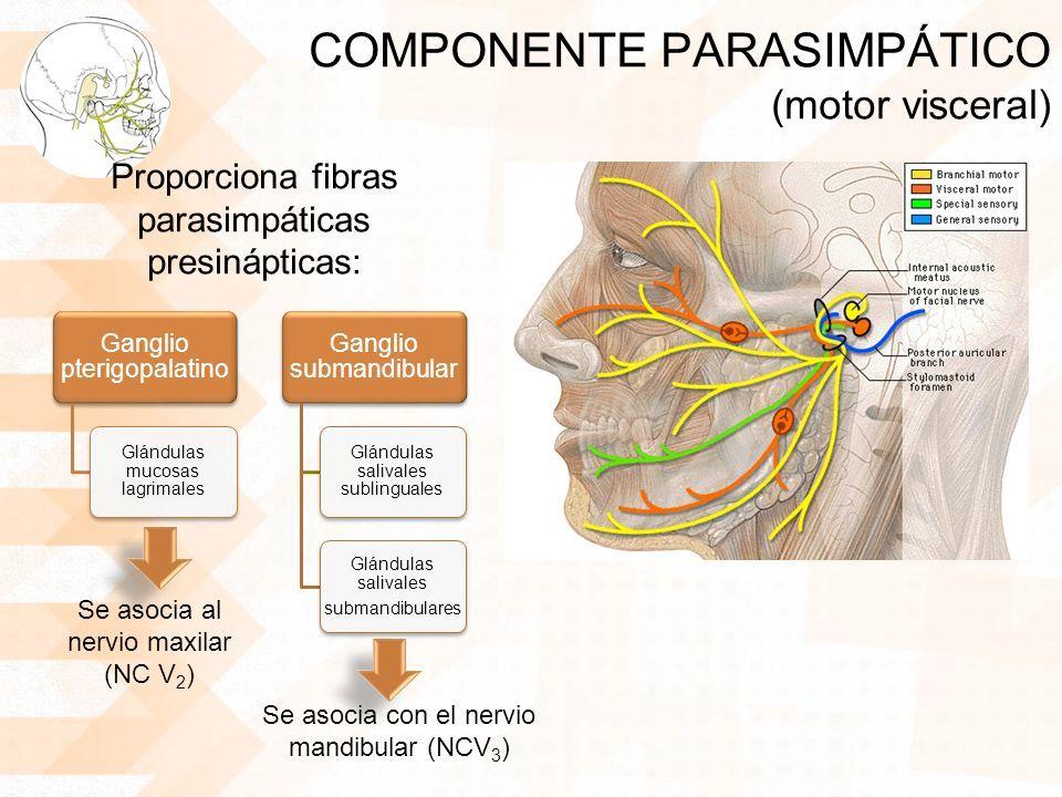 Resultado de imagen de anatomia nervio facial   N. FACIAL ...