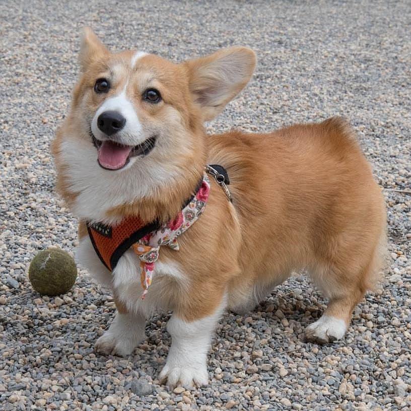 Pin By Mary Fran Salines On Corgi Dogs Corgi Corgi Temperament Corgi Dog