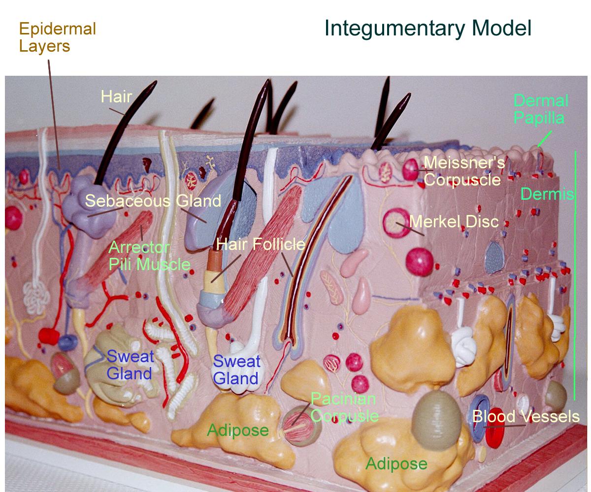 Skin Model Labeled Bing Images Skin model, Sweat gland