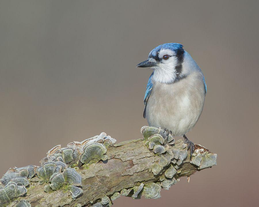 Blue Jay by Dave_v. @go4fotos