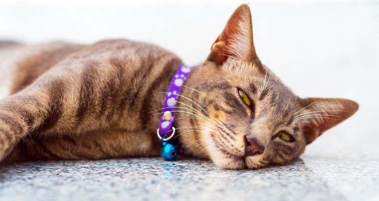 Puces chez le chat : 7 traitements naturels à tester