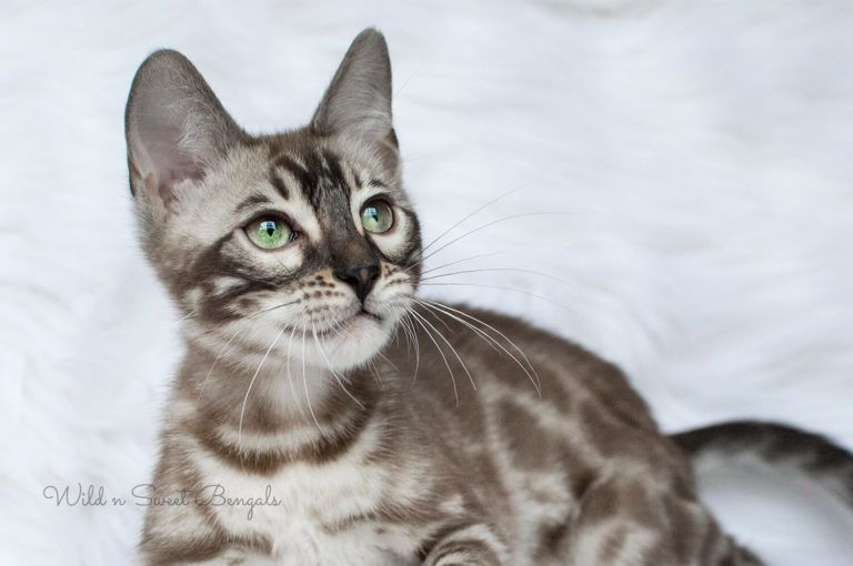 Bengal Kittens Cats For Sale Near Me Bengal Kitten Cats For Sale Bengal Kittens For Sale