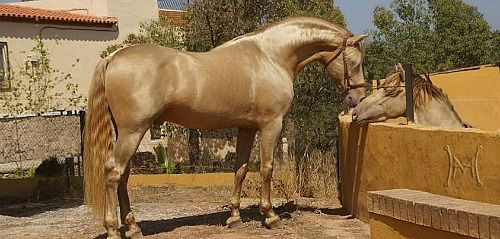 These two glorious pearl PRE stallions (QUITASUEÑO & IMPERIO) stand at the Yeguada Paco Marti Stud in Spain.