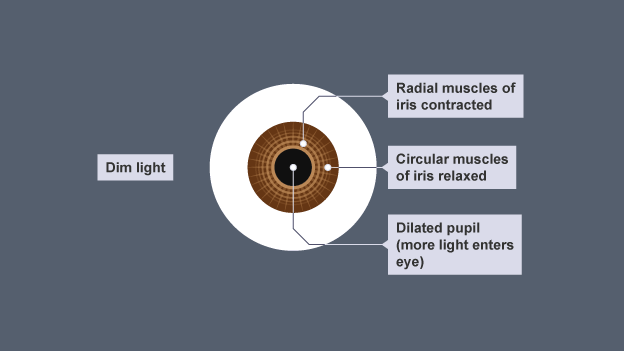 When there is little light the pupil of the eye expands to let in bbc bitesize gcse biology single science the nervous system revision 5 ccuart Image collections