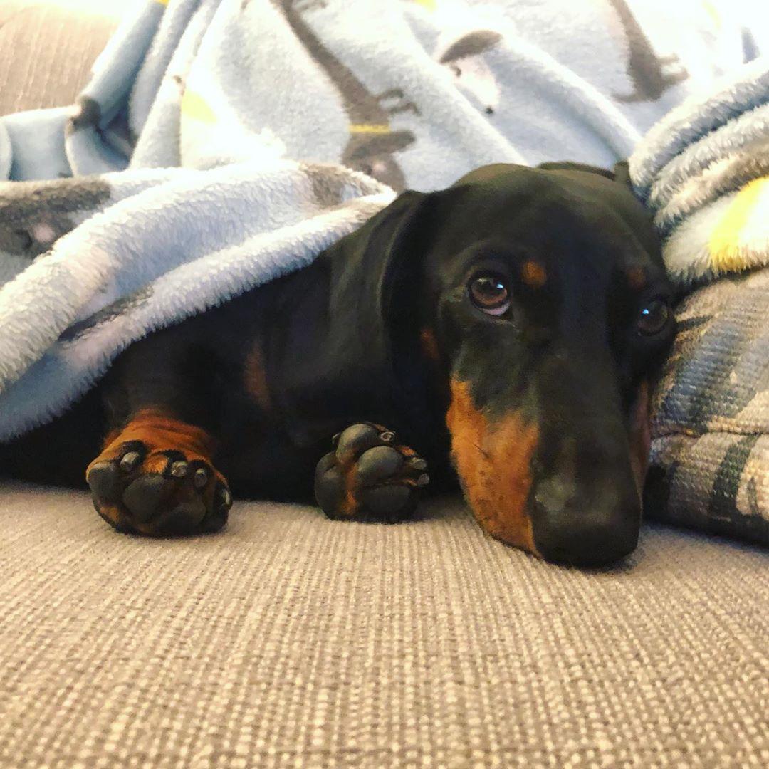 Why Do Dachshunds Like To Burrow Under Blankets Dachshund Black