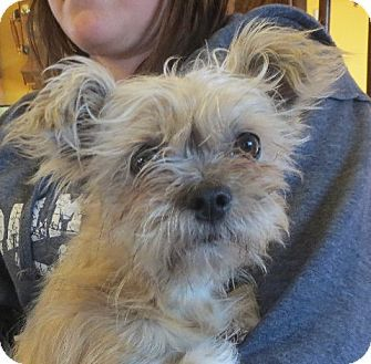 Allentown, PA Shih Tzu/Terrier (Unknown Type, Small) Mix