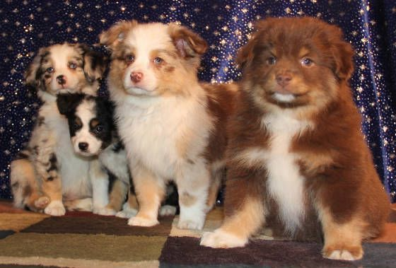 Blue Red Merle Toy Aussie Puppies In Co Pa Ri Sc Aussie