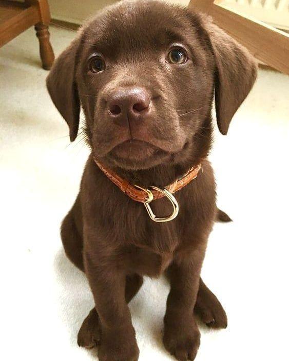 #labrador  #labradorretriever  #labradorcentral  #retriever  #labradors  #retrievers  #repost  #afflink #Labradors #visit If you love Labradors visit our blog!
