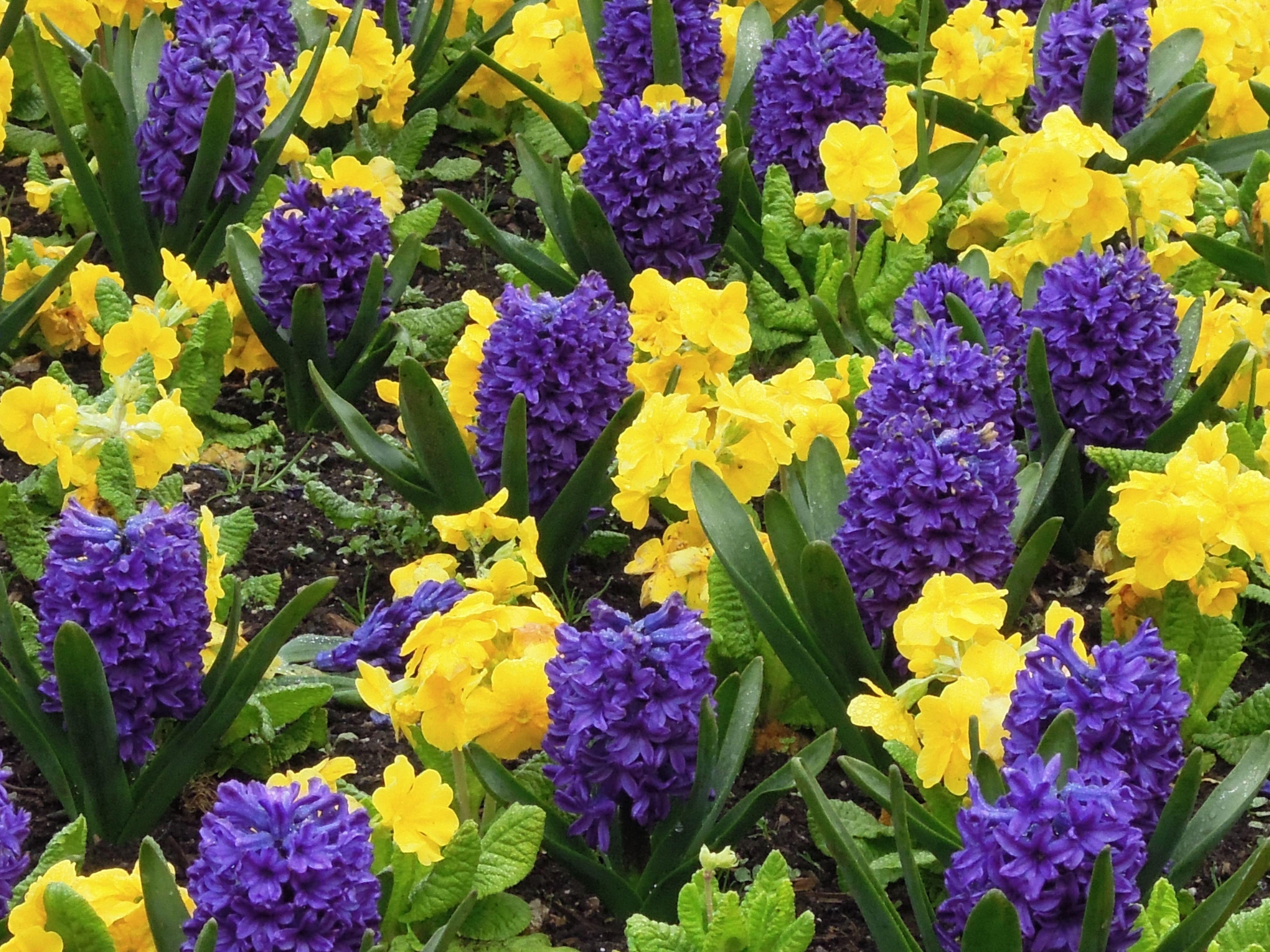 Yellow and Purple flowers full digital zoom.jpg 4,000 ...