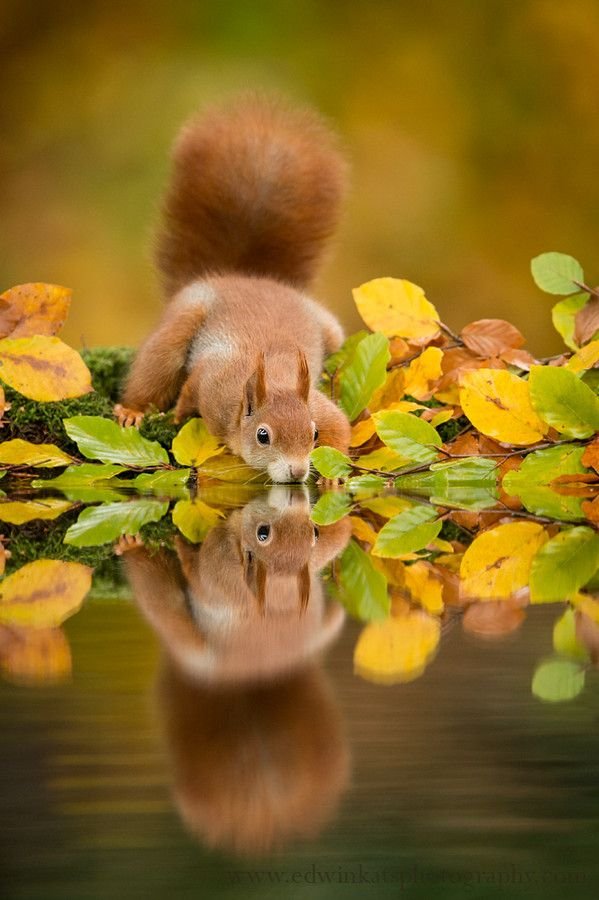 Red squirrel drinking water; wildlife photography by Edwin Kats on 500px.